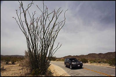 SUV Driving Past Parry's Nolina, Joshua Tree National Park, CA
