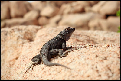 Lizard on Rock  Joshua Tree National Park, CA