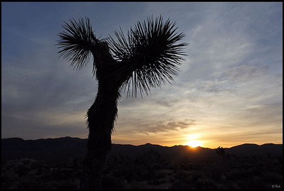 Joshua Tree Silhouette at Sunset  Joshua Tree National Park, CA