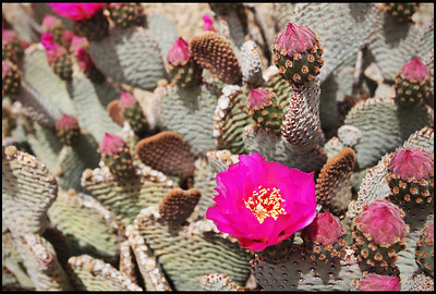 Blooming Cactus Flowers, Joshua Tree National Park, CA