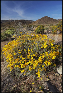 Spring Wildflowers, Joshua Tree National Park, CA