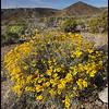 Spring Wildflowers, Joshua Tree National Park, CA