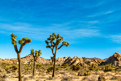 Joshua Trees Reaching Out