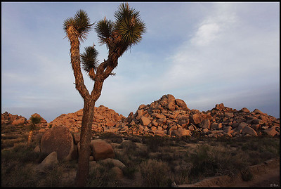 Joshua Tree at Sunset  Joshua Tree National Park, CA