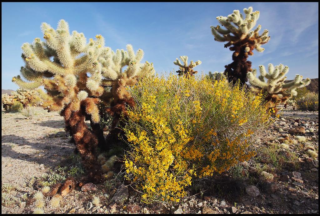 Wildflowers and Cactus, Cholla Cactus Garden  Joshua Tree National Park, CA
