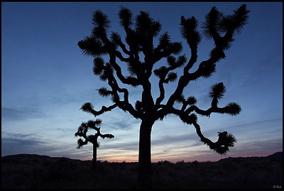 Joshua Trees Silhouette at Sunset  Joshua Tree National Park, CA
