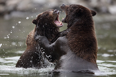 Brown Bears Fighting, Katmai National Park, AK