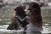 Brown Bears Fighting, Katmai National Park, AK