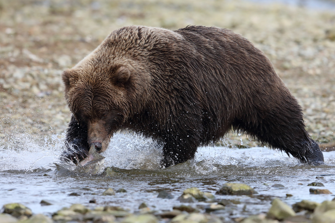 Brown Bear Catching a Salmon, Katmai National Park