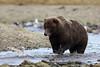 Brown Bear and Leaping Salmon, Katmai National Park, Alaska