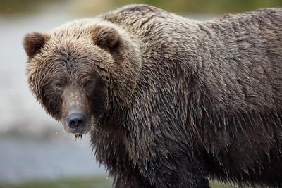 Huge Brown Bear, Katmai National Park, Alaska