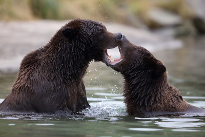 Kissing Bears