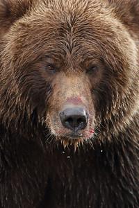 Huge Alaskan Brown Bear in Your Face