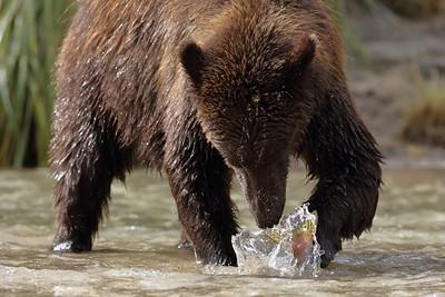 Brown Bear Salmon Smackdown, Katmai National Park