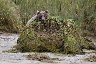 Chillin Brown Bear, Katmai National Park