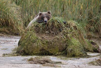 Chillin Brown Bear, Katmai National Park