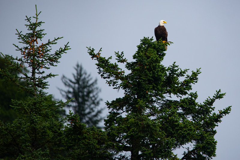 Eagle in the Pines.