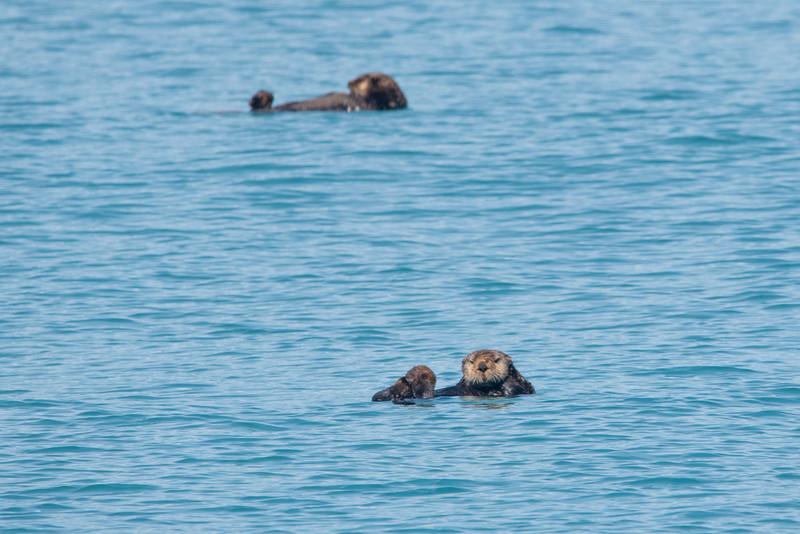 Sea Otter Life