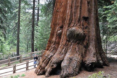 A Sequoia named Abraham Lincoln