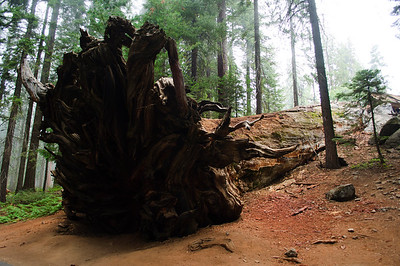 Fallen tree in Sequoia National Park in September 2010.