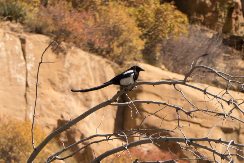Black Billled Magpie