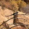 Black Billled Magpie