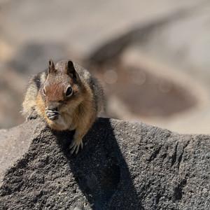 Golden-Mantled Squirrel 2