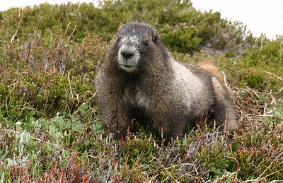 A big, fat, cute marmot