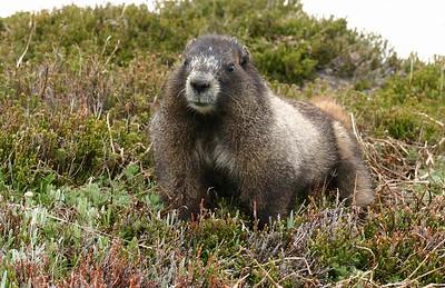 A big, fat, cute marmot