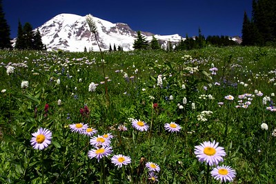 Mt. Rainier from Avalanche Lily Trail