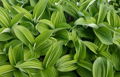 Corn lilies close-up