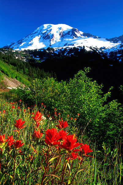 Mt. Rainier with Indian Paintbrush, Mount Rainier National Park, Washington