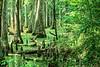 Cypress Swamp along Natchez Trace Parkway north of Jackson, Mississippi - 2 - 72 ppi