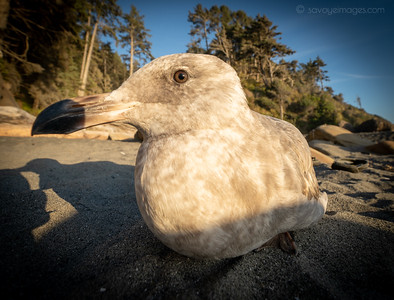 Resting seagull