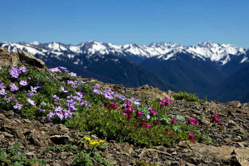 Olympic Wildflowers
