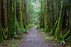 The trail to Third Beach near La Push, lined with moss covered trees.