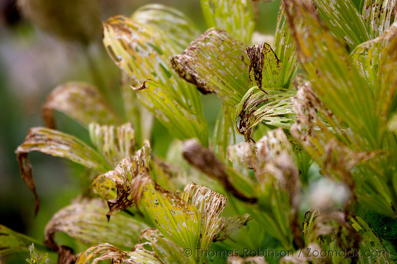Dying Corn Lilies