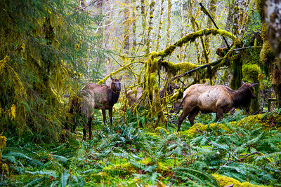 Elk in Hoh Rainforest in Olympic National Park, WA, April 2017.
