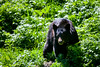 Black Bear, Olympic National Park