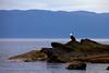 Bald Eagle, Olympic Peninsula