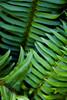 Sword ferns.