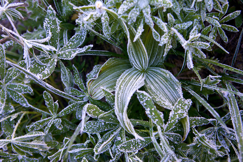 A stock of a corn lily, also called False Hellebore (Veratrum viride) stands amidst a group of lupin during a frosty cold morning at Royal Basin.