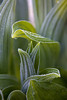 A stock of a corn lily, also called False Hellebore (Veratrum viride) is covered in with frost in the Royal Basin.