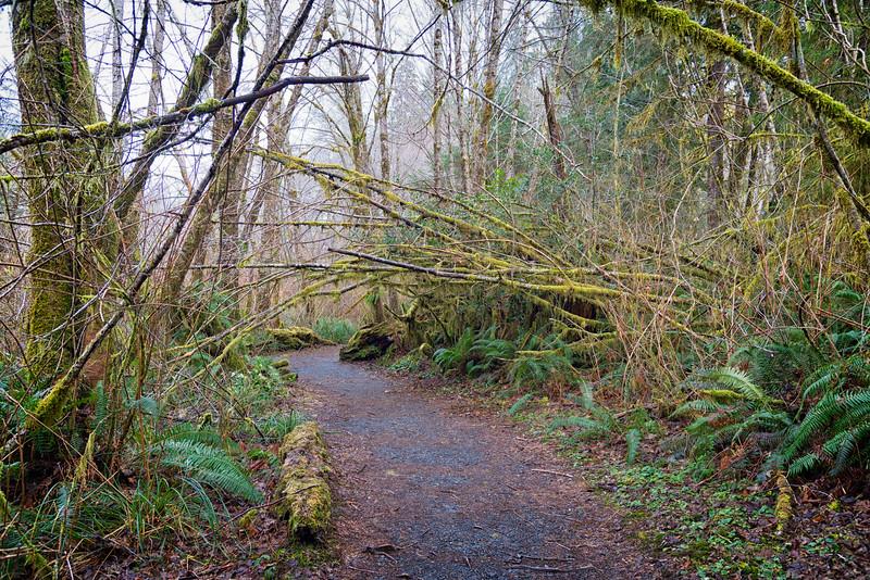 Big Spruce trail - Quinalt