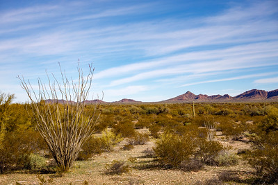 Ocotillo Sprouting Up
