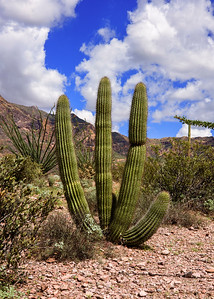 Baby Organ Pipe Cactus