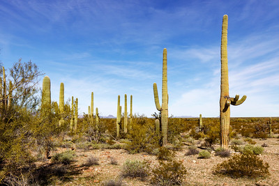 More Saguaro Showing Off In the Desert
