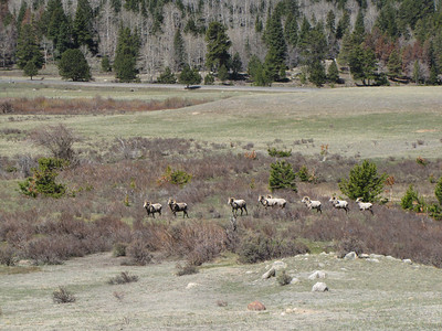 Bighorn Rams heading across to the second pond at Sheep Lakes