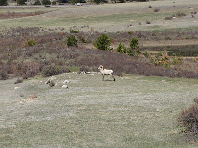 Bighorn Ram grazing between the ponds at Sheep Lakes