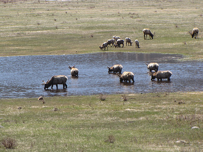 Bighorn and Elk at the third mineral pond at Sheep Lakes